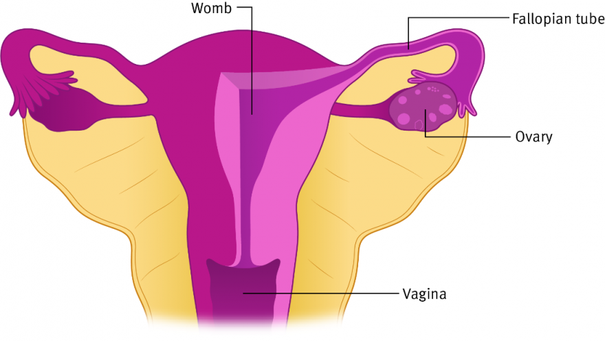 A close-up illustration of the ovaries, fallopian tubes womb and vagina